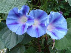 File:Ipomoea purpurea Light Blue Star1b.UME.JPG