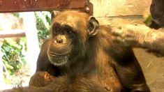 東山チンパンジー 双子の赤ちゃん 24  Chimpanzee twin baby