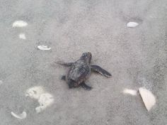 Tons of sealife - baby sea turtle finding his way  Sanibel Island, FL  vacation & long-term rentals:  http://www.vrbo.com/419157