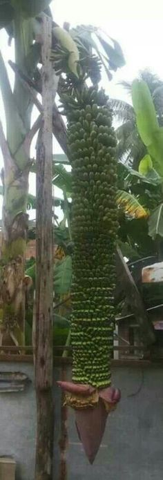 A productive Banana Tree.