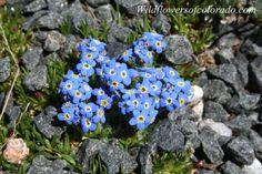 Alpine Forget-Me-Not (Colorado Flower)