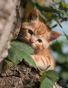 by Wolfeye / Beautiful Kittens, Cute Cats And Kittens, Kittens Cutest, Animals Beautiful, Cute Baby Animals, Animals And Pets, Orange Tabby Cats, Curious Cat, Tier Fotos