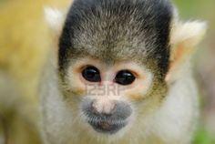 cute squirrel monkey (Saimiri) subfamily: saimiriinae Stock Photo - 2917219