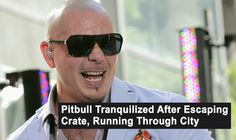 Pitbull Tranquilized After Escaping Crate, Running Through City