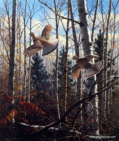 A pair of ruffed grouse flushing from the thick underbrush. Although seen as a pair in the David Maass print Evening Flight-Ruffed Grouse, they are typically loners except during mating season. This p