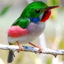 Cuban Tody  (Todus multicolor)~~ species Todidae.  It is found only in Cuba, and is considered the smallest of the todies.  It lives in dry lowlands, evergreen forrest, costal vegitation and   near rivers and streams.  It's 4.3 in. & weighs 0.21-0.23oz.