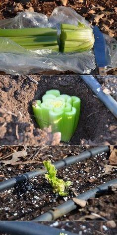 So kann man Sellerie ganz einfach selber anpflanzen So you can easily grow celery yourself Fenced Vegetable Garden, Herb Garden, Lawn And Garden, Garden Plants, Vegetable Garden For Beginners, Gardening For Beginners, Gardening Tips, Growing Plants, Growing Vegetables
