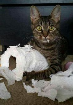 Funny cats - part 167 pics + 10 gifs) Animals And Pets, Funny Animals, Cute Animals, Bad Cats, Crazy Cats, Cute Kittens, Cats And Kittens, Pretty Cats, Beautiful Cats