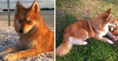 Meet Fox Dog, A Pomeranian-Husky Mix Who Is Taking The Internet By Storm (12 Pics) | Bored Panda