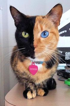 Sep 2012 - Famous feline may have different DNA on each side of her body. Venus's face is split evenly into two colors. Venus the two-faced cat is currently the most famous feline on the planet. Animals And Pets, Funny Animals, Cute Animals, Baby Animals, Funny Cats, Crazy Cat Lady, Crazy Cats, I Love Cats, Cute Cats