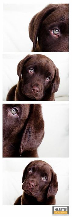 Make one special photo charms for your pets, 100% compatible with your Pandora bracelets.  Aww.....cutest chocolate labrador retriever puppy ever! Bruno is gorgeous! {Pet Photography} {Lab} {Dog} {Puppies} {Photo Session Ideas} {Pet Portraits}