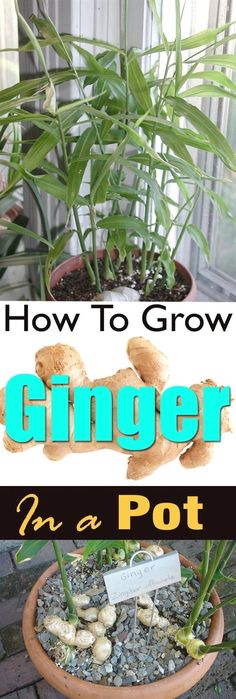 Growing ginger in a pot is easy! It's a great idea if you live in a cool temperate climate or you don't have a plenty of space. If you live in USDA Zone 9b and above or any other subtropical or ... #GardeningIdeas