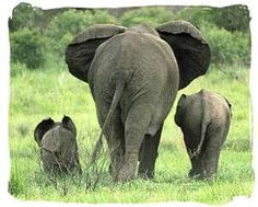 it is said that if a mama elephant finds an orphan baby elephant she will take care of it like her own <3