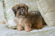 1 year old Shorkie this is what Max looks like as an adult Puppies And Kitties, Cute Puppies, Cute Dogs, Shorkie Puppies, Yorkies, Perro Shih Tzu, Yorkie Haircuts, Dog Names, Dog Pictures
