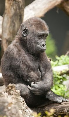 The pouting or thinking young Gorilla. Primates, Mammals, Nature Animals, Animals And Pets, Strange Animals, Cute Baby Animals, Funny Animals, Regard Animal, Baby Gorillas