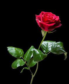 Wallpaper Nature Flowers, Beautiful Flowers Wallpapers, Flowers Nature, Flower Wallpaper, Red Rose Love, Beautiful Rose Flowers, Red Flowers, Red Rose Petals, Flower Lights