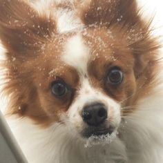 Marcel the Frenchman was not pleased with yesterday's snow in CT! Look at his poor puppy-dog eyes! #papillon