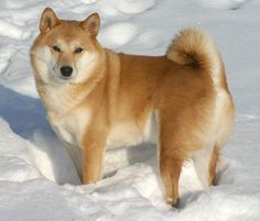 A sweet Shiba Inu is a breed I know very little about but LOOK at that face.  Omg...Adding this one to my list.....