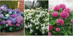Add elegance, charm, and nostalgia to any garden with these gorgeous flowering shrubs.