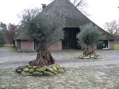 Wilt u meer weten over: verzorging olijfbomen? Bij Palmexpert.nl vindt u online de beste verzorgingstips voor uw bomen en planten.