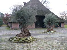 Verzorging Olijfboom verzorging onderhoud pot overwinteren winterhard olijfbomen - Palmexpert.nl