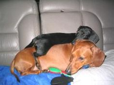 Stacks of dachshunds!  Murphy and Oscar (top) are best buddies.