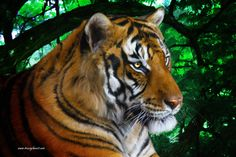 Tiger Contemplation - digital painting by Tracey Lee Art Designs Forest Background, Curtains For Sale, Pillow Sale, Artwork Prints, Art Blog, Art Designs, Fine Art America, Throw Pillows, Digital