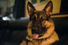Argus German Shepherd Pictures, German Shepherd Dogs, German Shepherds, Belgian Malinois, Corgi, Animals, Audio Latino, Rock, Youtube
