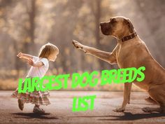 Large dog breeds are loved by many. They are great protectors, full of energy and fun while playing and also pretty cuddly! Take a look at the 10 largest dog breeds in the world and get to know them a bit better. Big Dog Breeds, Dog Breeds List, Big Dogs, Large Dogs, Tumeric For Dogs, Chow Dog Breed, Worlds Largest Dog, Biggest Dog, Dog Grooming Styles