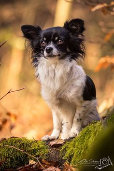 Chihuahua by Clarissa Scheffler