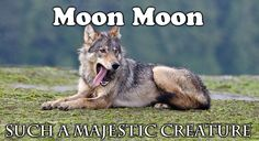 The female parent of a 10 strong coastal wolf pack yawns comically by Bertie Gregory. Wolf Meme, Funny Wolf, Cute Funny Animals, Funny Cute, Hilarious, Moon Moon Memes, Pugs, Dog Jokes, Beautiful Wolves