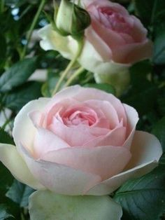 Each petal is a hard time in life. The thorns is a wall we put up. Thats what a rose looks like to me All Flowers, Pretty Flowers, Beautiful Roses, Beautiful Gardens, Every Rose, Coming Up Roses, Colorful Roses, Love Rose, Flowering Trees