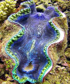 Giant purple clam - Great Barrier Reef, Cairns, Australia / These have to be seen to be believed, with their beautiful velvet-like interior!