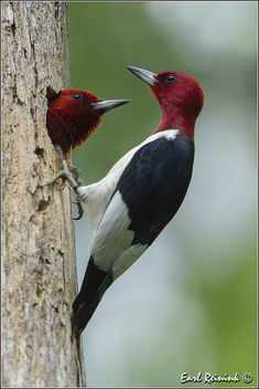 Red-headed woodpeckers | Flickr - Photo Sharing!