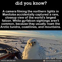 A camera filming the northern lights in Manitoba accidentally captured a RARE, closeup view of the White Gyrfalcon, the Worlds Largest Falcon!  ...What A Cutie!