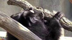 Negro osos de pereza que lucha para aparearse