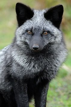 Silver fox. -- [REPINNED by All Creatures Gift Shop] Beautiful creature!