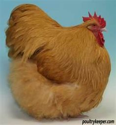 Buff Orpington chicken.  Now that's a fat hen! Getting a couple of these.