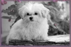 Always Adorable Mi-kis Pretty Puppy King Charles Spaniel, Cavalier King Charles, Japanese Chin, Maine Coon Cats, Maltese, Shih Tzu, Puppies, Pets, Doggies