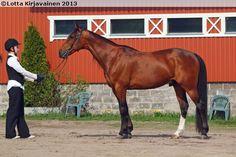 Standardbred - stallion Gladiolo
