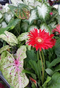Gerbera Daisies add color to containers and cut arrangements. Along with caladiums, they will carry your garden through the hottest days of summer. Learn more about Gerbera Daisies with The Home Depot's plant search tool.