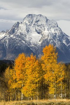 ✯ Fall aspen trees in front of Mount Moran - Grand Teton National Park, Wyoming I have seen this first hand and it is just that beautiful! Landscape Photos, Landscape Photography, Nature Photography, Grand Teton National Park, National Parks, Beautiful World, Beautiful Places, Beautiful Scenery, Aspen Trees