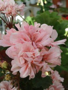Elnaryds Renee Geraniums, Rose, Flowers, Plants, Google, Pink, Plant, Roses, Royal Icing Flowers
