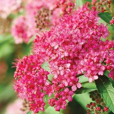 Spirea is a no-brainer to grow! Click through for more favorite plants: http://www.bhg.com/gardening/trees-shrubs-vines/shrubs/summer-blooming-shrubs/?socsrc=bhgpin020615spirea&page=13