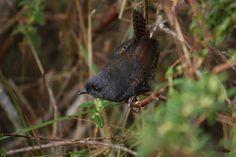 Spillmann's Tapaculo (Scytalopus spillmanni) Roncesvalles, Alonso Quevedo Gil