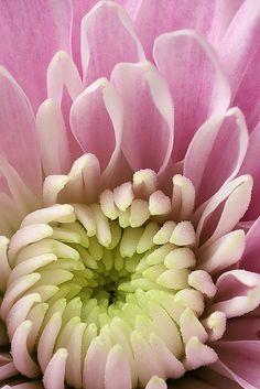 Chrysanthemum!