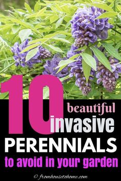 Invasive plant species are difficult to maintain and can destroy the natural environment. Find out which perennials to avoid planting in your garden landscaping even if they do have beautiful flowers. #fromhousetohome #invasiveplants #gardeningtips #lowmaintenancegarden #shadeperennials #sunperennials