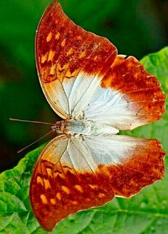 Different Types of Butterflies Papillon Butterfly, Butterfly Gif, Butterfly Background, Butterfly Drawing, Butterfly Pictures, Butterfly Painting, Butterfly Wallpaper, Butterfly Migration, Types Of Butterflies