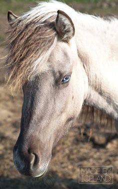 Icelandic such pretty eyes!