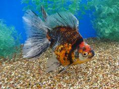 Comet Goldfish, Cute Fish, Fish Print, Auction Items, Carp, Ocean Life, Photoshop, Aquariums, Animals